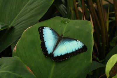 Tropische_Schmetterlinge