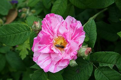 Honigbiene beim Besuch einer Rosenblüte. © Museumspädagogisches Zentrum München